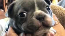 This Puppy Adorably Purring Like A Cat Will Make Your Month