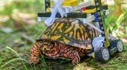 Η χελώνα που έγινε «λαγός» με αναπηρικό καροτσάκι από