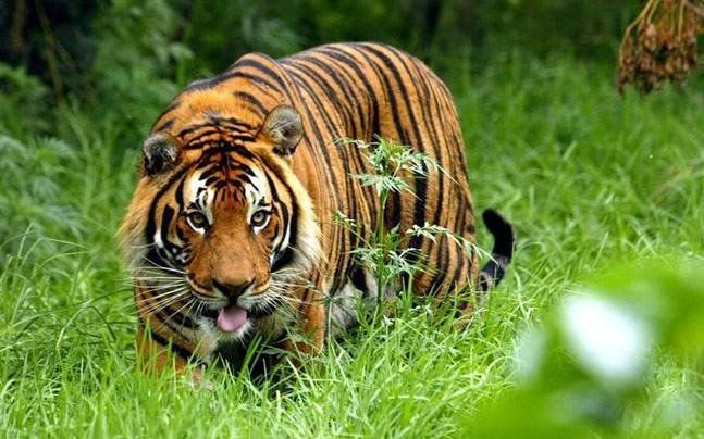 India officials are hunting a tigress like this one and her two cubs.