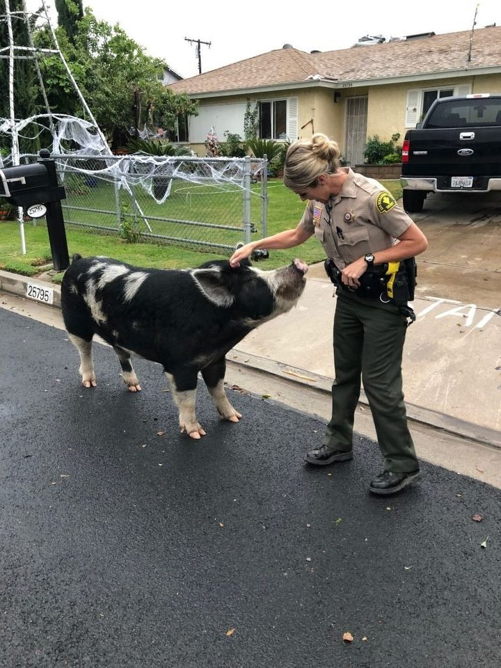 Deputy Shelly Ponce pets the escaped pig.