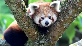 A one year old Red Panda sits in the trees having only recently arrived to a brand new enclosure at the Manor Wildlife Park, St Florence, near Tenby in Wales, July 18, 2018. The Red Panda has been classified as endangered by the IUCN, because its wild population is estimated at less than 10,000 mature individuals and continues to decline due to habitat loss and fragmentation, poaching, and inbreeding depression, although red pandas are protected by national laws in their range countries. REUTERS/Rebecca Naden