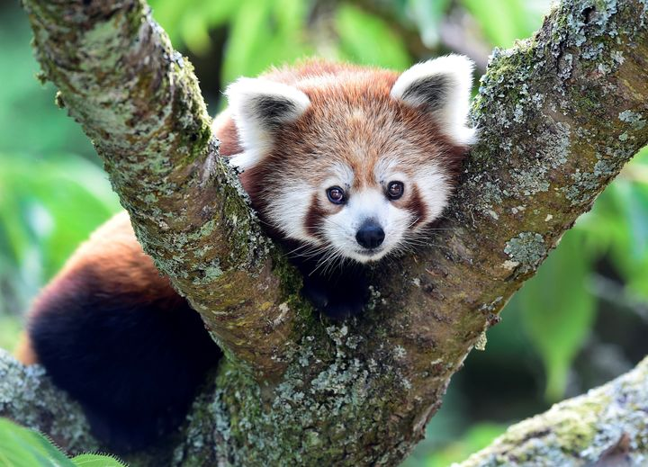 The endangered red panda, threatened by climate change and habitat destruction, has been identified by researchers as a creat