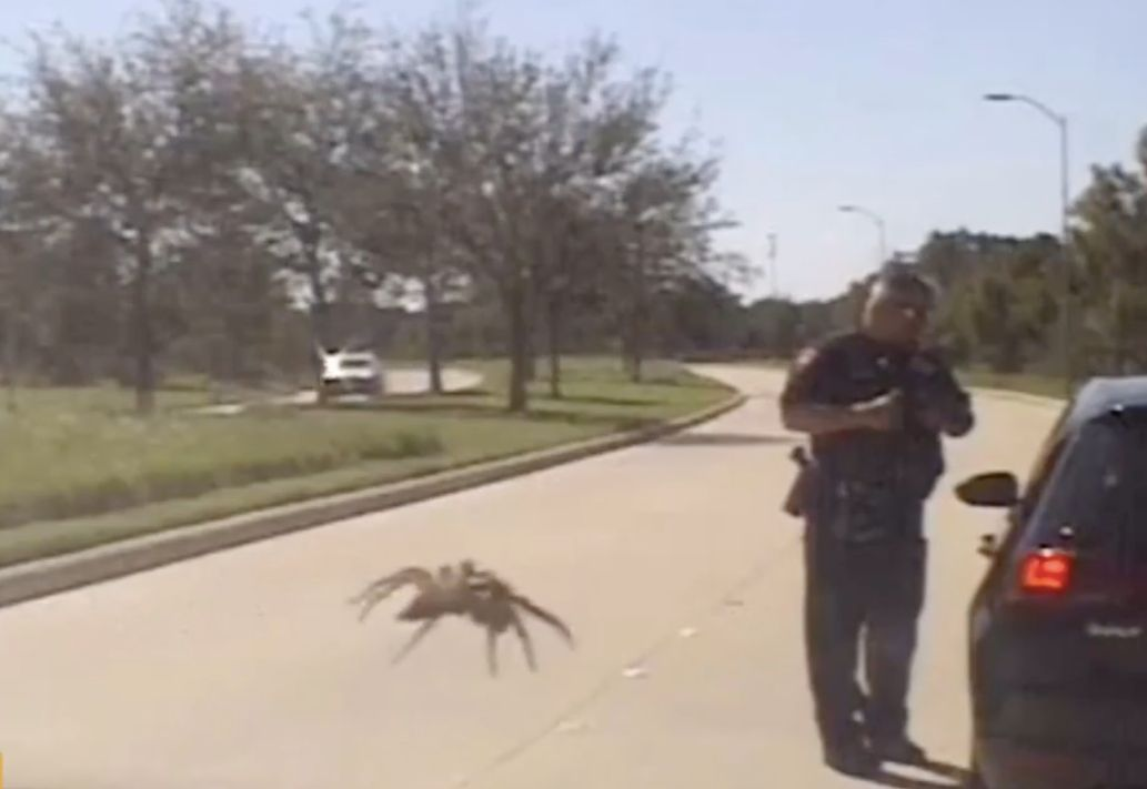 This dash cam video taken by an officer for the Fulshear, Texas, Police Department shows what appears to be a giant spider going after a police officer