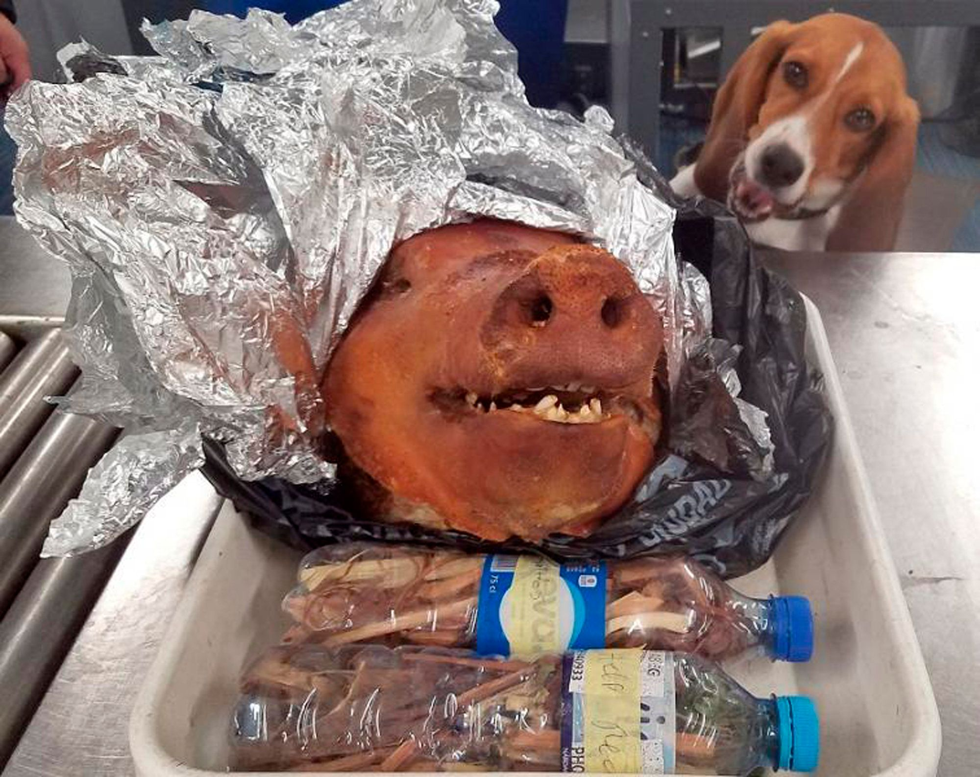Intrepid Beagle Intercepts Roasted Pig In Atlanta