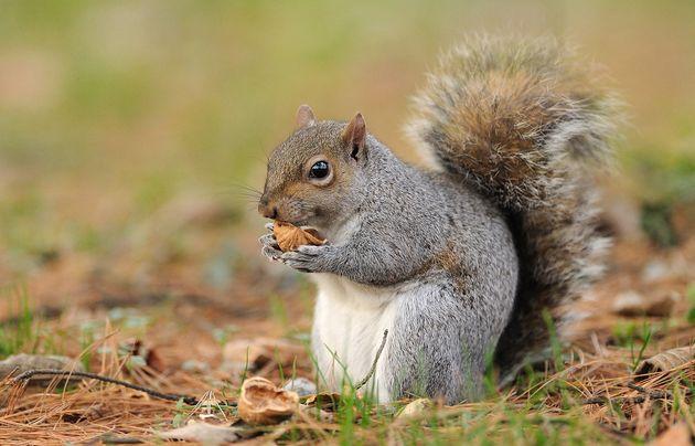 ΗΠΑ: Άνδρας πέθανε από πολύ σπάνια ασθένεια αφού έφαγε εγκέφαλο σκίουρου