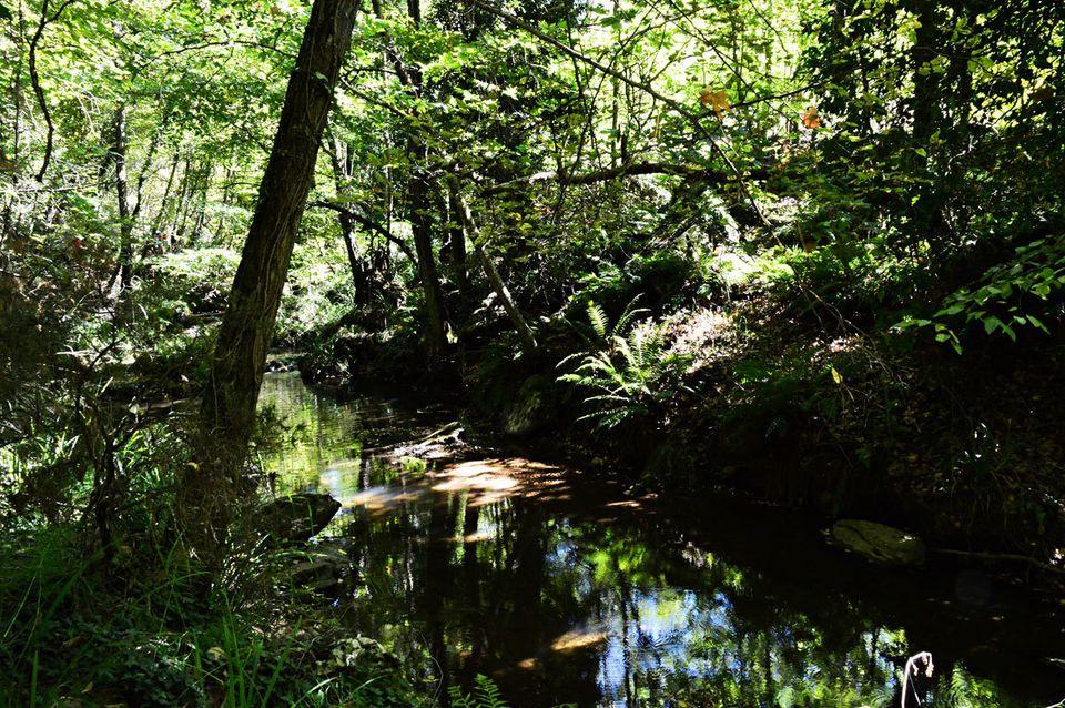 Βλαχοκερασιά, Δάσος Σκιρίτιδας,