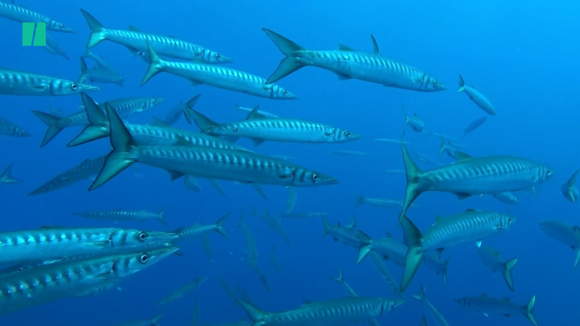 How Climate Change Affects Barracudas
