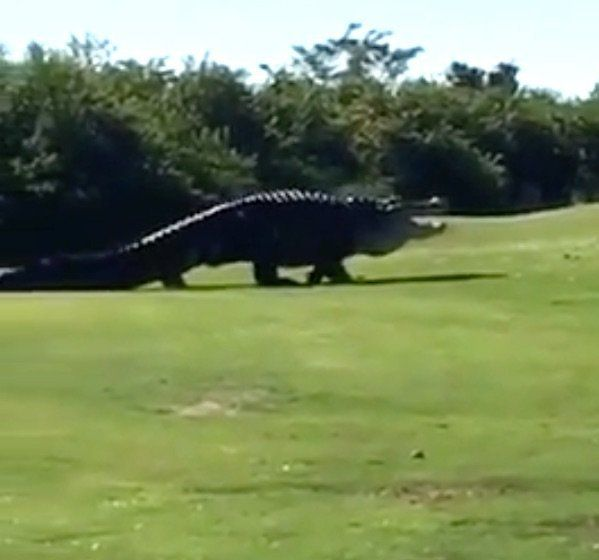 Monster alligator stomps through Florida golf course, freaks out everyone