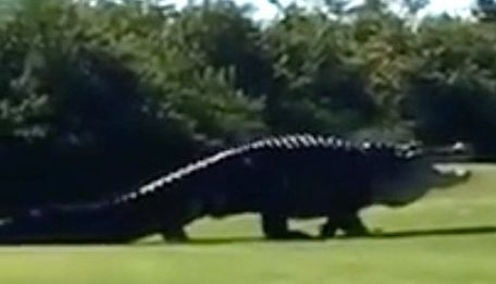 Monster Alligator Stomps Through Florida Golf Course, Freaks Out