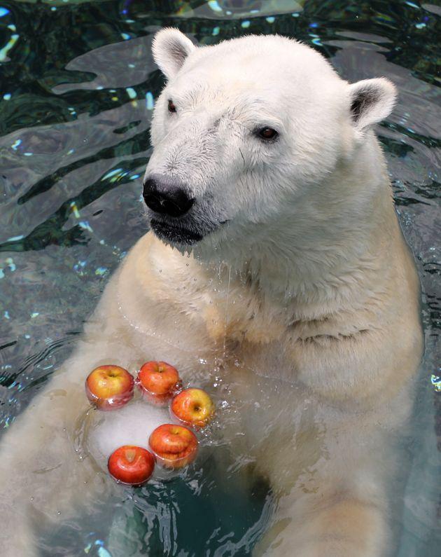 올해 6월 얼린 과일을 먹으며 더위를 식히던 북극곰 통키의