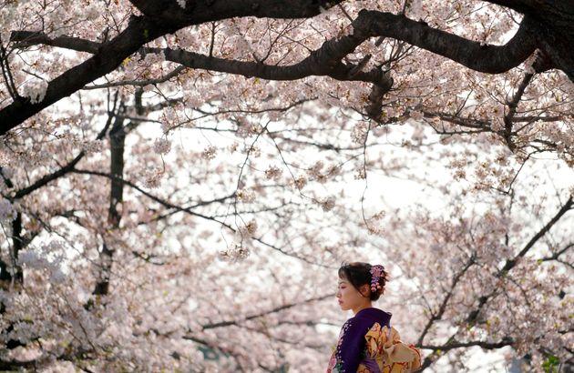 Τι έκανε ξαφνικά τις κερασιές στην Ιαπωνία να ανθίσουν μέσα στην καρδιά του φθινοπώρου