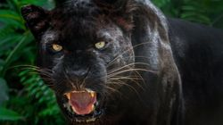 Police Warn Residents To Stay Safe After 'Black Panther' Is