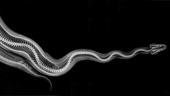 볼비단구렁이(Ball python)