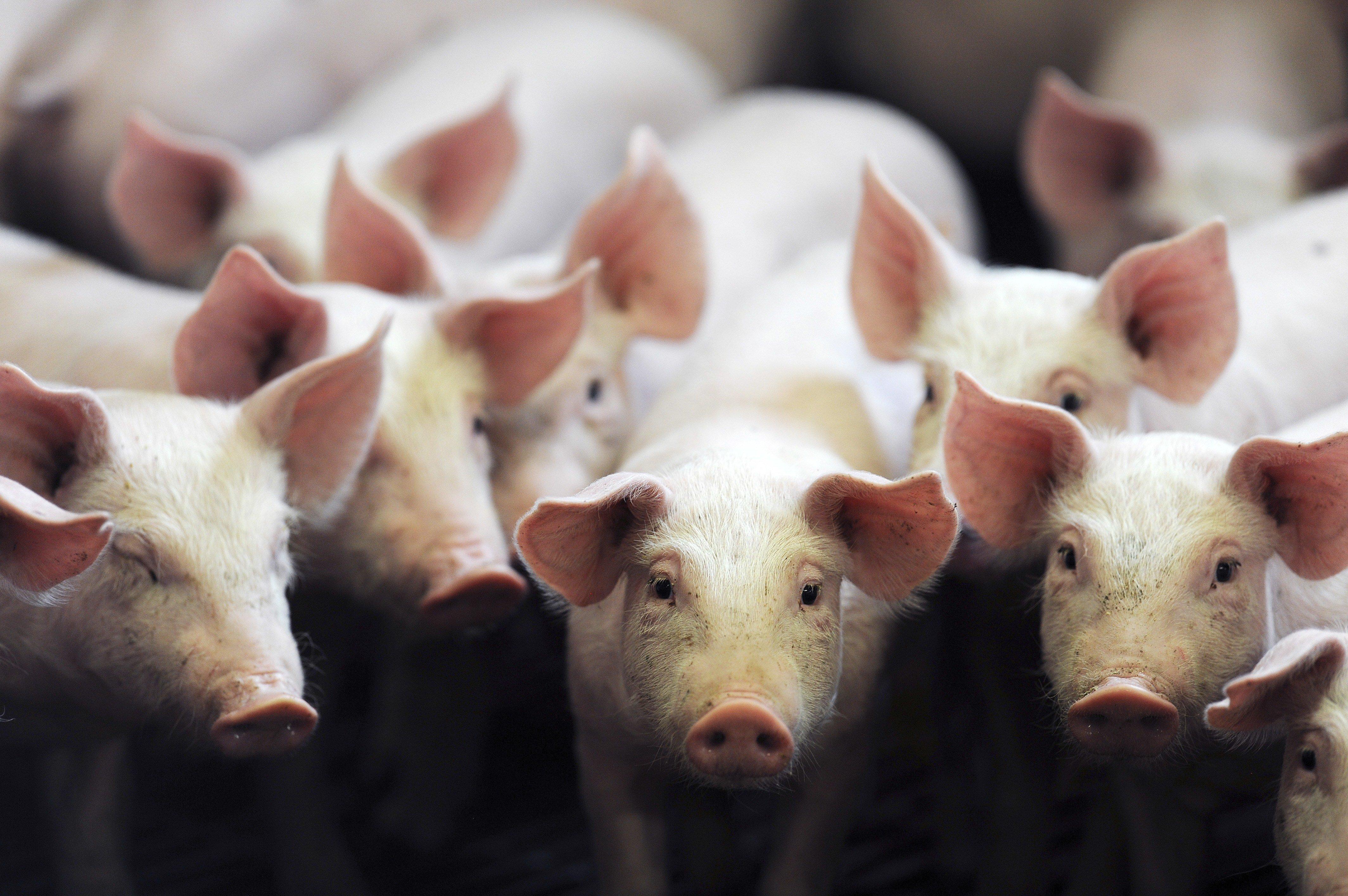 Schlachterei vernichtet 23.000 Kilo Fleisch, weil Arbeiter ans Fließband pinkelte