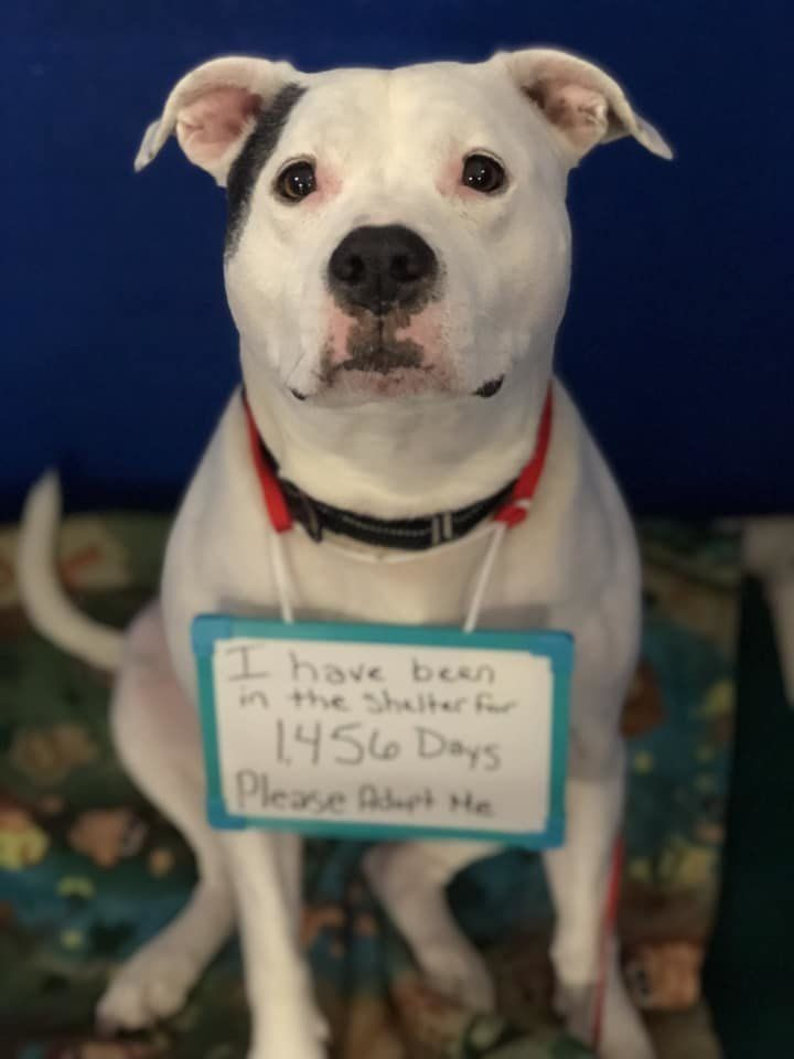 Ginger the dog wearing a sign saying how long she's been at a Maine animal shelter.