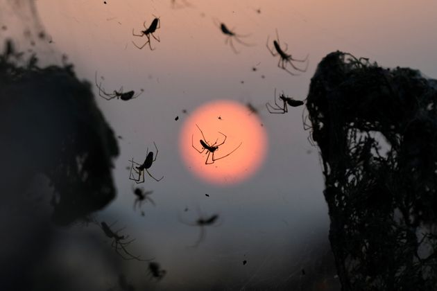 A close-up of spiders as the sun rises behind