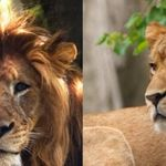 동물원의 암컷 사자가 새끼 3마리의 아빠 사자를