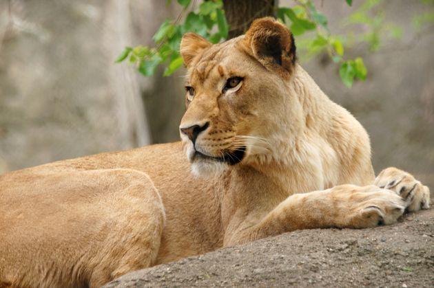 Λέαινα σε ζωολογικό κήπο σκότωσε τον πατέρα των παιδιών