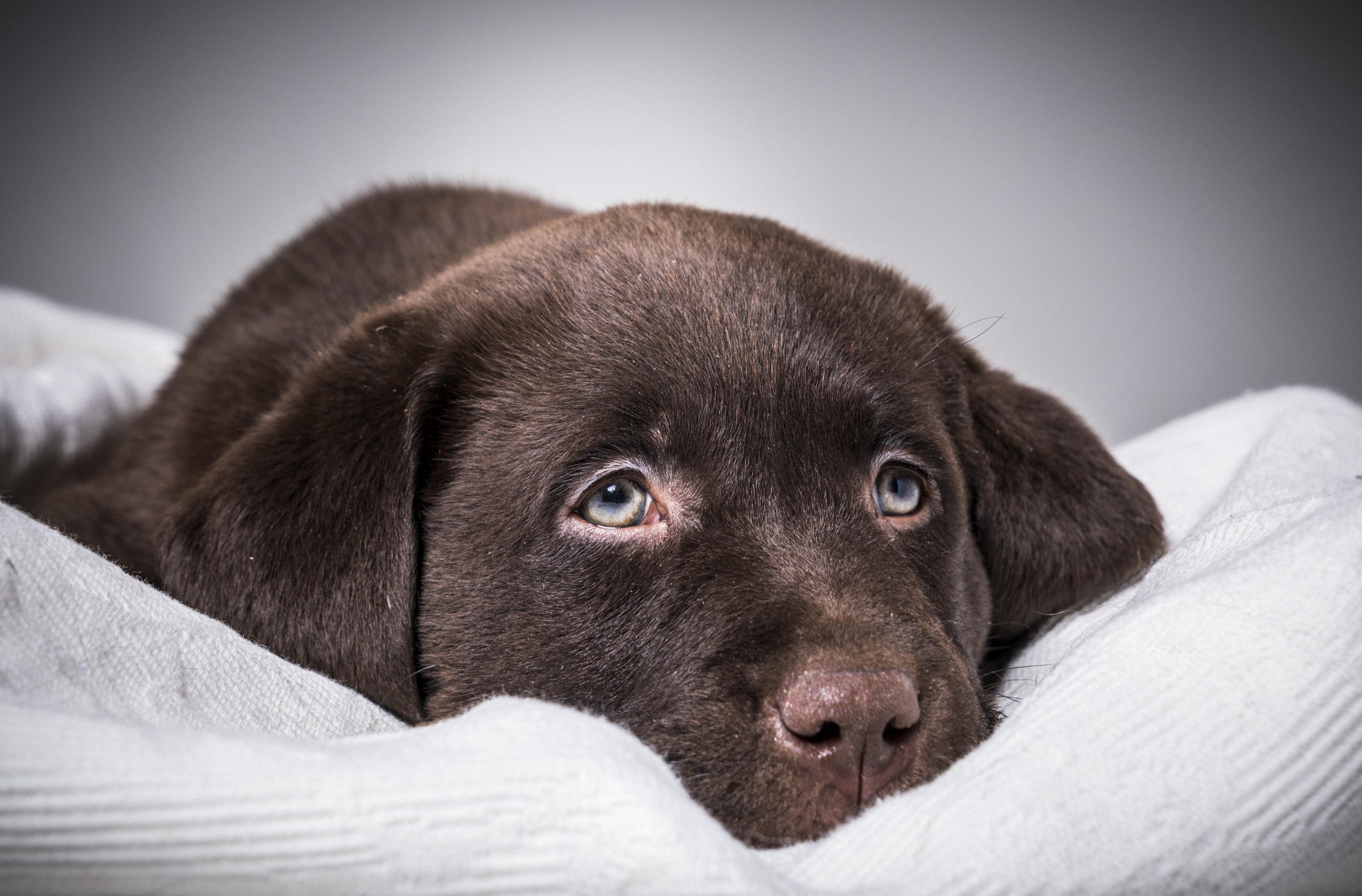 Ερευνα: To χρώμα δημοφιλούς ράτσας σκύλου «δείχνει» πόσο θα