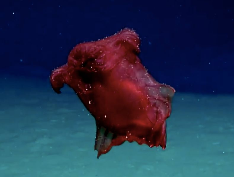 "Enypniastes eximia, the ""headless chicken monster,"" feeds on the sea floor and has webbed body parts that allow i"
