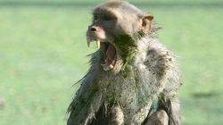 인도에서 '원숭이' 때문에 72세 남성이 사망하는 사건이
