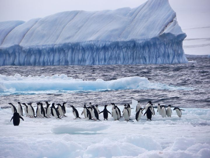 Adelie Penguins are one of the many marine species in the Weddell Sea, Antarctica, an are of near-pristine wilderness threatened by climate change and industrial fishing.