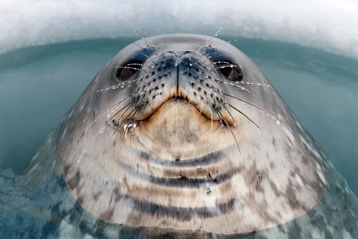 A Weddell Seal pokes through an ice hole.