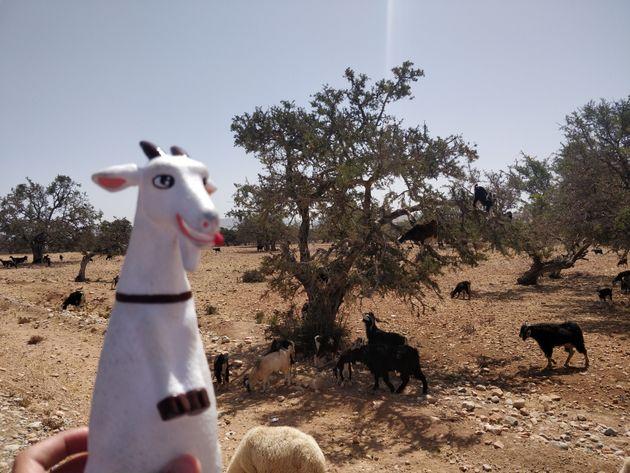 Gabi, la chèvre qui veut encourager les filles du Haut Atlas à rester