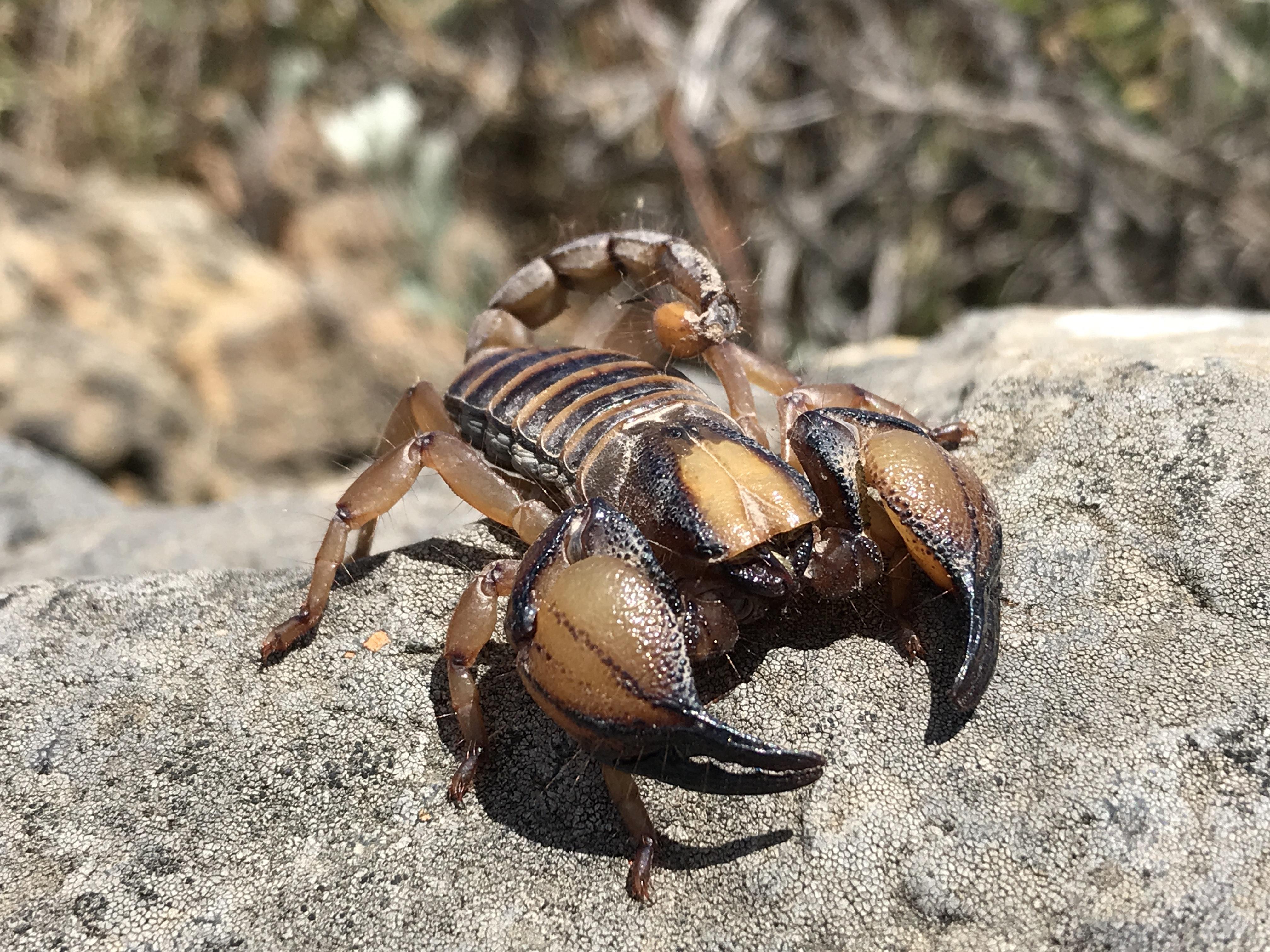 Cape Burrower Scorpion (Opistophthalmus capensis)