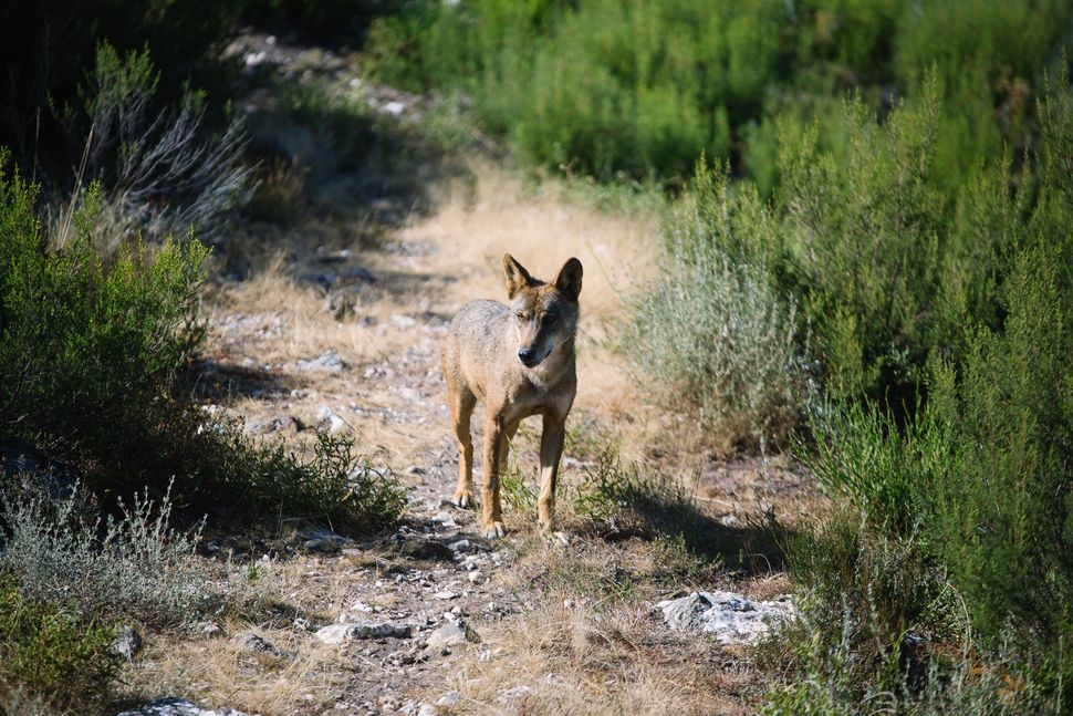 Wolves may be the traditional enemy to many in Spain, especially farmers, but attitudes are