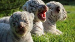 Rare White Bengal Tiger Cubs Born At Crimean