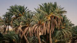 Le charançon rouge continue de ravager les palmiers