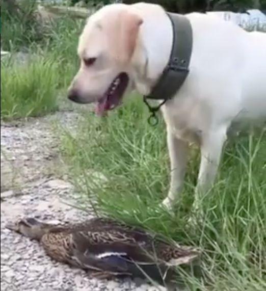 Der Hund schnappt die Ente, doch der Vogel ist