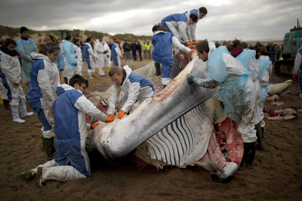 Φάλαινα ξεβράστηκε νεκρή σε ακτή του Βελγίου. Έρευνα για τα