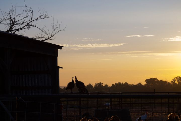 At Good Shepherd Poultry Ranch in Kansas, the heritage turkeyssleep outside in trees.