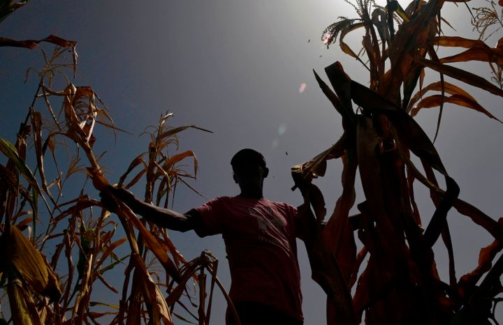 In a photo from July, a farmer who lost his crops because of the drought checks his cornfield in the town of Usulutan, nearly