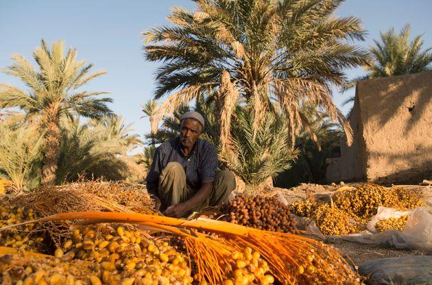Guelmim: Les dattes de l'oasis de Taghjijt ne représentent aucun danger pour le consommateur selon