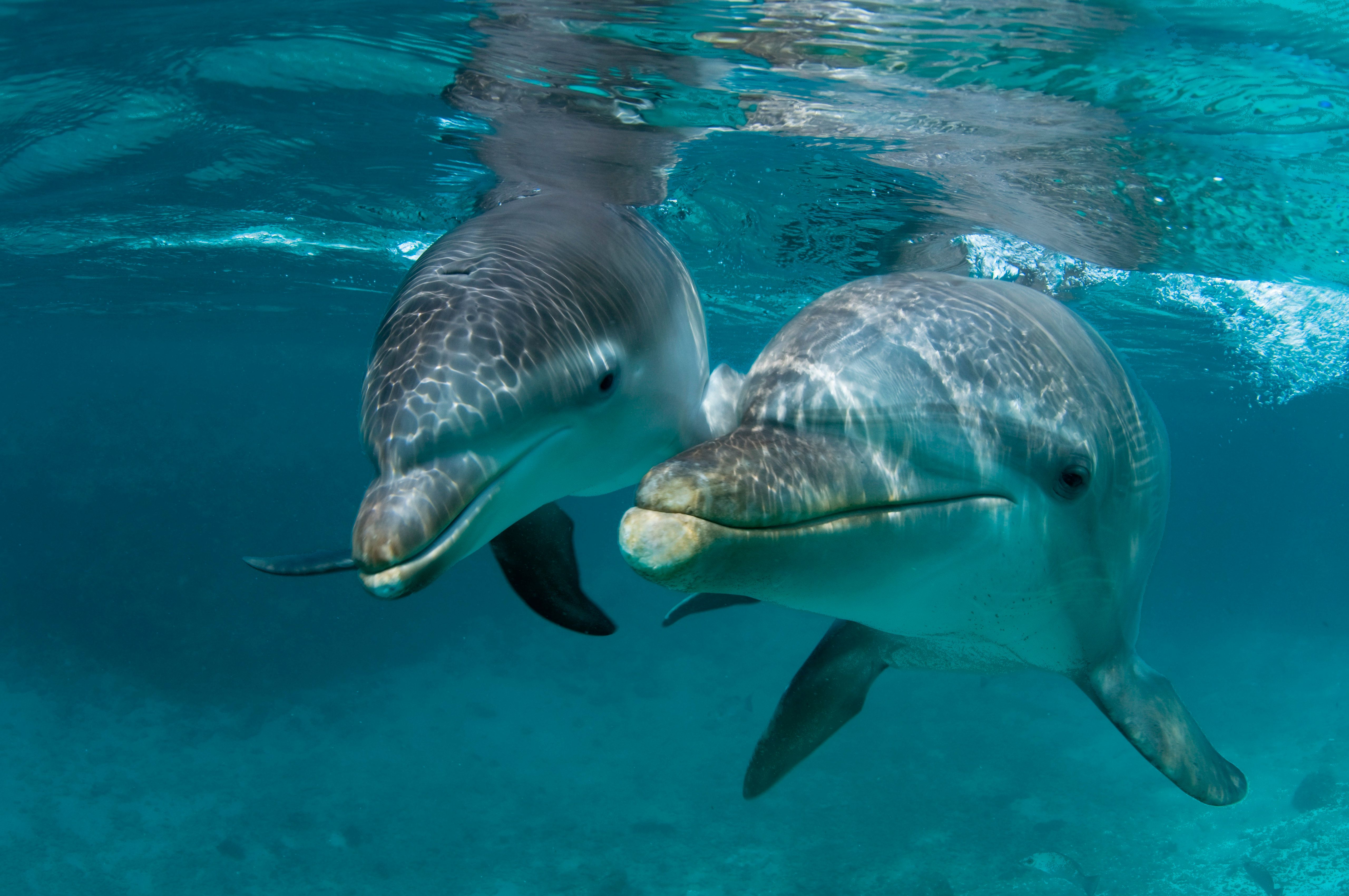 Baby Atlantic bottlenose dolphin (Tursiops truncatus) and mother, Curacao, Netherlands Antilles, (Photo by Wild Horizons/UIG via Getty Images)