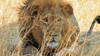 Powerful Handsome Male Lion (Panthera leo) with a golden mane looking directly ahead with a natural dried yellow grass background in Hwange National Park, Zimbabwe
