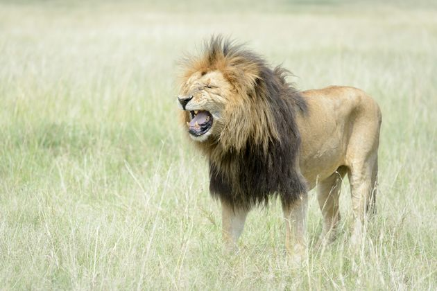 Trophy Hunter On Ryan Zinke Advisory Council Bags Permits To Import 3 Lion