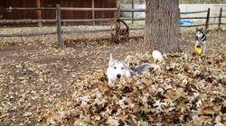 개를 키우고 있다면, 지금은 낙엽을 모아야할