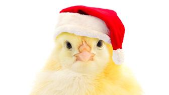 Chicken in a red Santa Claus hat  isolated on white.
