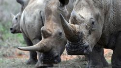 China Just Legalized Rhino Horn And Tiger Bone For Medical Use, Reversing 25-Year