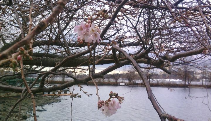 A cherry tree blooming by the Charles River in Boston, Dec. 17, 2017.