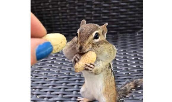 볼이 터질 정도로 땅콩 받아가는 다람쥐가 마지막에 보인 귀여운 행동