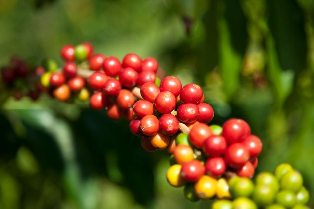 The cherries on a coffee plant don't all ripen at the same time, so small farmers have to revisit the crop several times each harvest, whereas factory farms pull the cherries from the trees all at once.