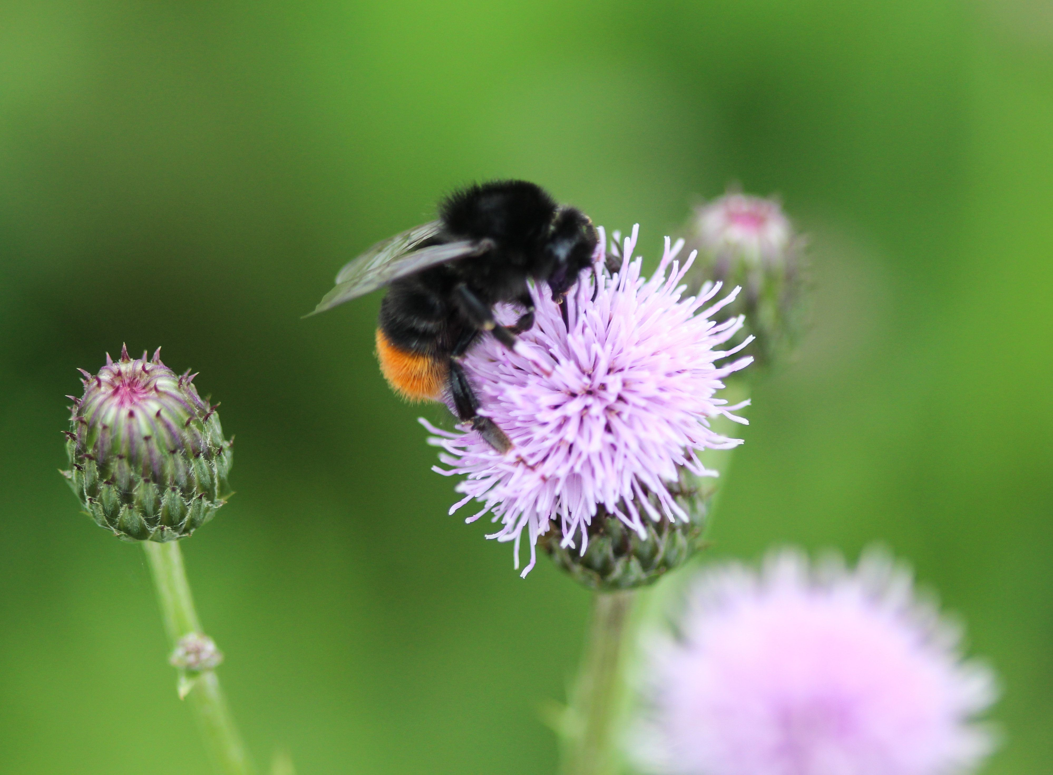 Pollinators like the red-tailed bumblebee are susceptible to threats from urban expansion, climate change and disease.