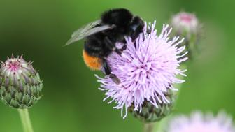 close up of red tailed bumblebee insect on flower