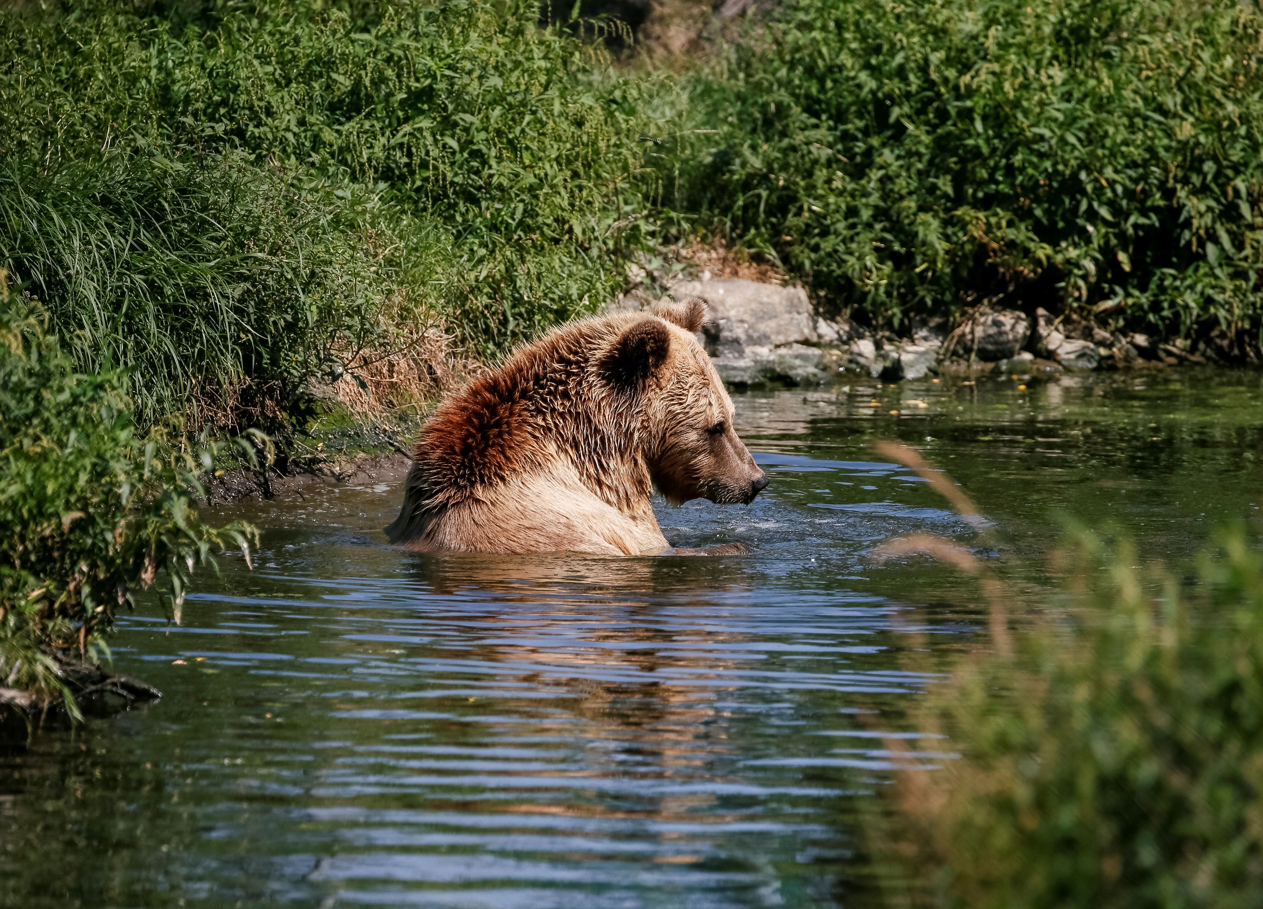 Αρκούδες κατασπαράζουν λύκο σε ζωολογικό κήπο στην Ολλανδία μπροστά σε παιδιά