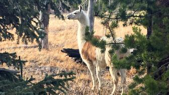 Montana woman rescues wandering llama from Yellowstone park